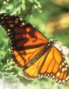 Monarch butterfly in Pacific Grove.