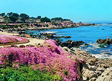 The rocky coast of Pacific Grove covered with flowers.