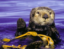 A Sea Otter floats among the kelp in the Monterey Bay.